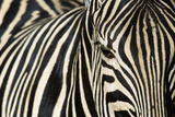 Burchell's Zebra Photographic Print
