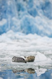 Harbor Seals and Icebergs in Alaska Photographic Print