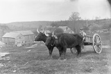 Farmer on Ox Cart Photographic Print