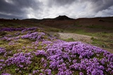 Summer Wildflowers in Iceland Photographic Print
