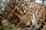 Jaguar in Costa Rica Photographic Print