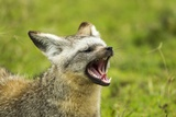 Bat Eared Fox Photographic Print