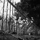 Large Daisies Growing Through Spear-Headed Railings Atop a Low Stone-Coped Wall Photographic Print by John Gay