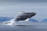 Humpback Whale Calf Breaching in Disko Bay in Greenland Fotografisk tryk