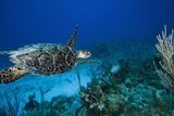 Hawksbill Turtle Swimming Above Reef Photographic Print