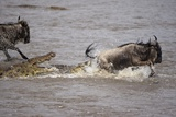 Nile Crocodile Attacking Wildebeest Migrating across Mara River Fotografisk tryk
