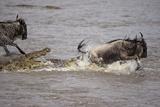 Nile Crocodile Attacking Wildebeest Migrating across Mara River Reprodukcja zdjęcia
