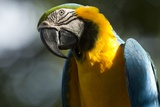 Blue and Gold Macaw, Costa Rica Photographic Print