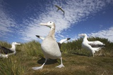 Wandering Albatrosses on South Georgia Island Photographie