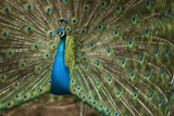 Male Indian Peacock in Costa Rica Photographic Print