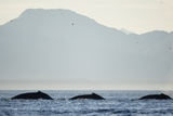 Humpback Whales Feeding Along Point Adolphus at Sunset Photographic Print