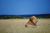 Male Lion Resting on Savanna Fotografie-Druck