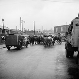 Norwich, Norfolk, Driving Cattle to the Railway Station, Heigham Street Photographic Print by Hallam Ashley