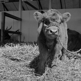 View of a Young Highland Cow, Tethered and Facing the Camera at the Royal Show, Oxford Photographic Print by John Gay