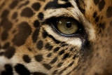 Captive Jaguar at Las Pumas Rescue Shelter Photographic Print