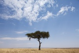 Lone Acacia Tree in Savanna Photographic Print