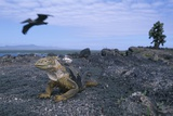 Land Iguana in Galapagos Islands National Park Photographic Print