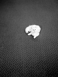 A White Chinchilla Persian Cat on a Kosset Carpet Photographic Print by John Gay