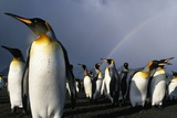 Rainbow Behind King Penguin Colony on Saint Andrews Bay Photographic Print