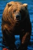 Brown Bear Eating Sockeye Salmon Photographic Print