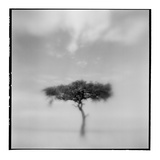 Acacia Tree, Masai Mara Game Reserve, Kenya Fotografisk tryk