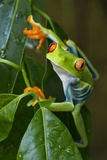 Red Eyed Tree Frog, Costa Rica Fotografisk tryk