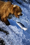 Brown Bear and Spawning Salmon Photographic Print