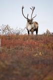 Bull Caribou in Denali National Park Photographic Print