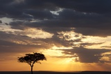 Acacia Tree at Sunset Photographic Print