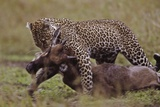 Leopard with Wildebeest Kill Photographic Print