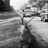 Richmond Park, London, a Red Deer Stag on the Roadside Verge with Cars and a Coach Passing By Photographic Print by John Gay