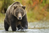 Brown Bear, Katmai National Park, Alaska Fotografisk trykk
