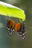 Tiger Longwing Butterfly, Costa Rica Photographic Print