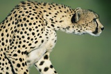 Alert Cheetah Photographic Print