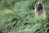 Fur Seal Peering Up from Grass Photographic Print