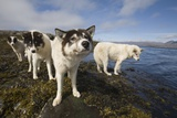 Sled Dogs in Sisimiut Reproduction photographique