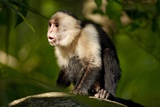 White-Faced Capuchin in a Tree in Manuel Antonio National Park Photographic Print