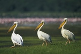Row of White Pelicans Photographic Print