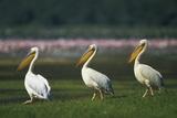Row of White Pelicans Photographic Print