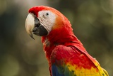 Scarlet Macaw, Costa Rica Photographic Print