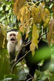 White Face Capuchin in a Tree in Costa Rica Photographic Print