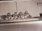 Tiger Cub Quadruplets at Bronx Zoo Photographic Print