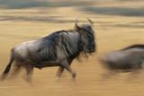 Wildebeest Running in Grass Photographic Print