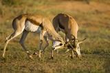 Springbok Fighting in Kgalagadi Transfrontier Park Photographic Print