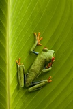 Tree Frog in Costa Rica Photographic Print