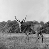 Richmond Park, Greater Londo, a Red Deer Stag Standing Photographic Print by John Gay