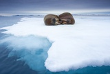 Sleeping Walruses, Svalbard, Norway Photographic Print