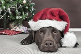 Labrador in Santa Hat Sleeping by Xmas Tree Photographic Print