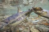 Spawning Salmon, Katmai National Park, Alaska Photographic Print