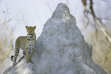 Leopard on Termite Mound Photographic Print